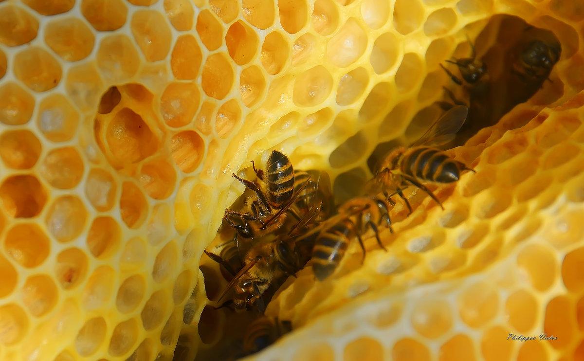 Пчелы строители - Виктор (Victor)