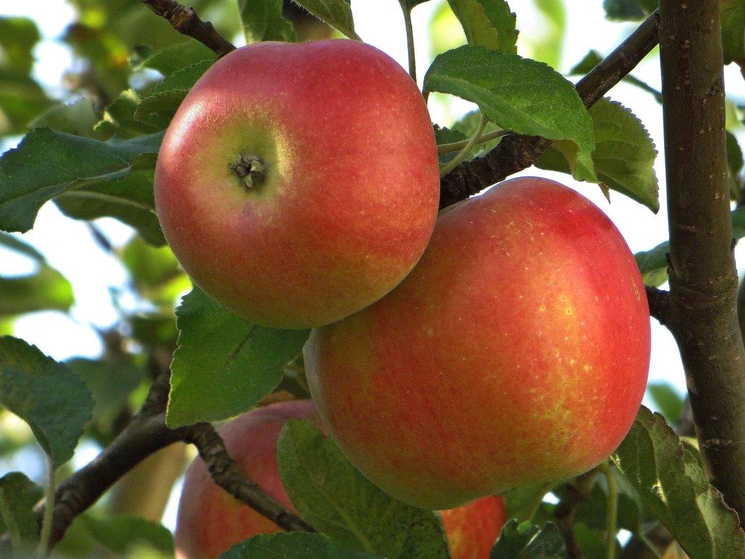 Румяные яблочки - Татьяна Смоляниченко