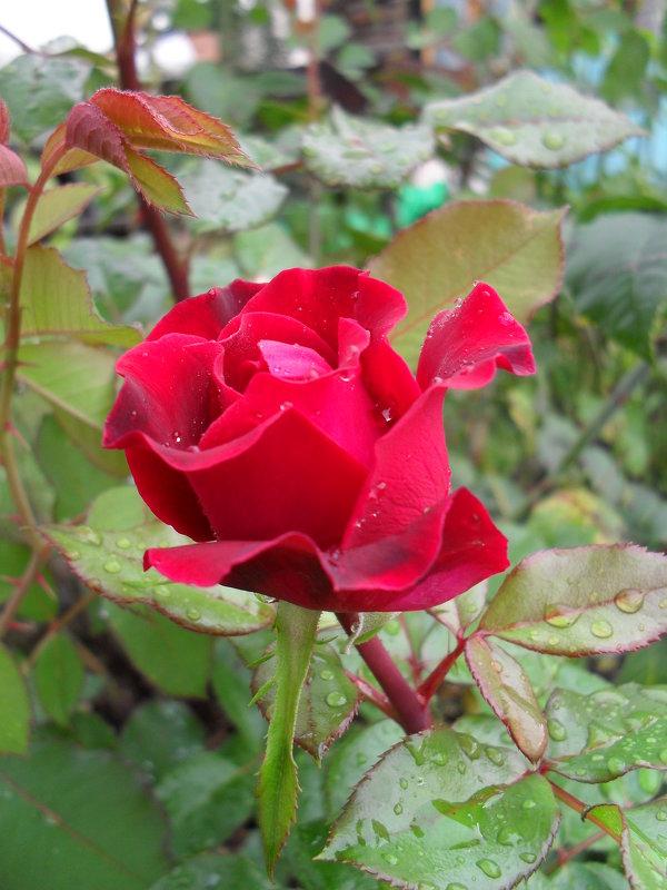 Красная роза - Анатолий