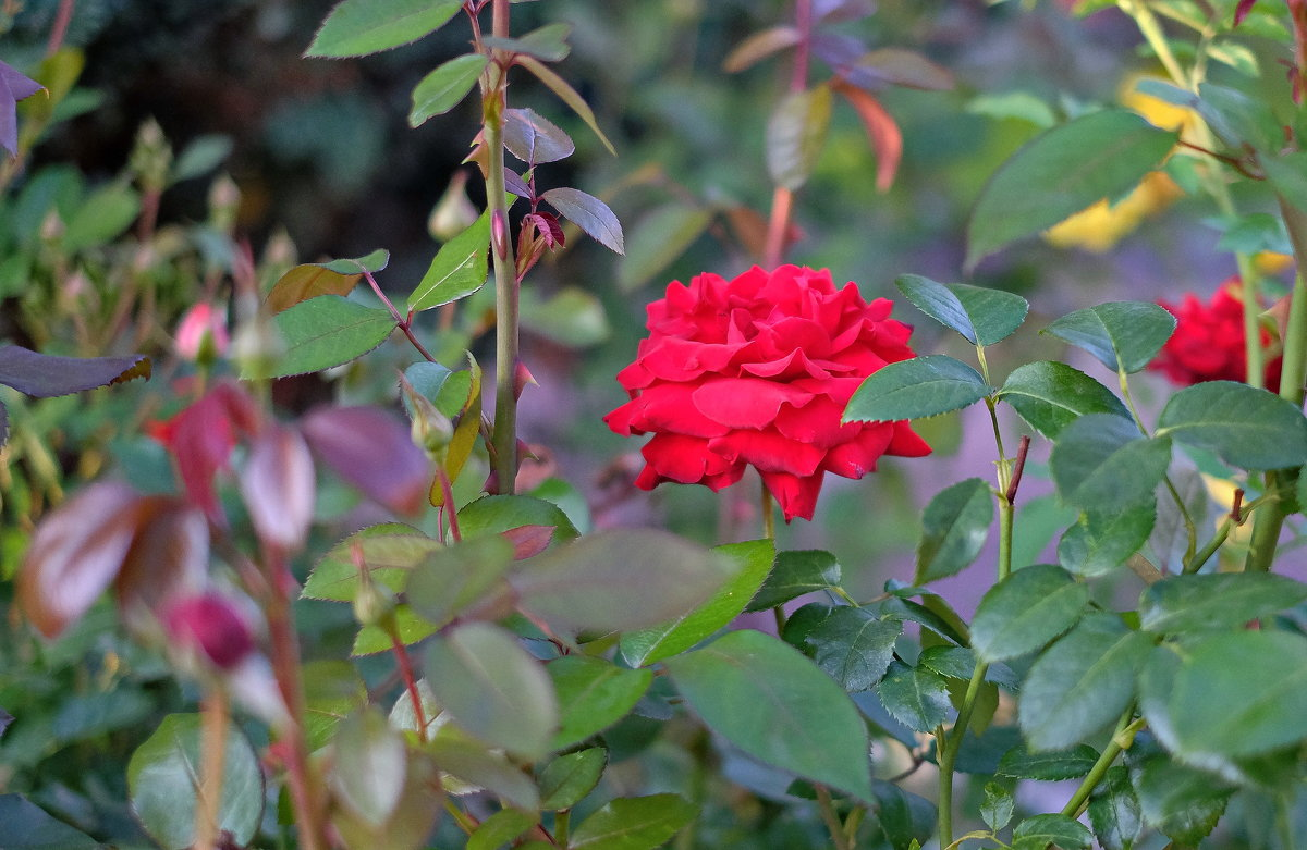 Розы в монастырском саду. - Геннадий Александрович