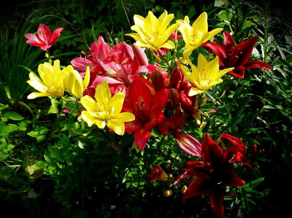 Лилии в моём саду - Svetlana27