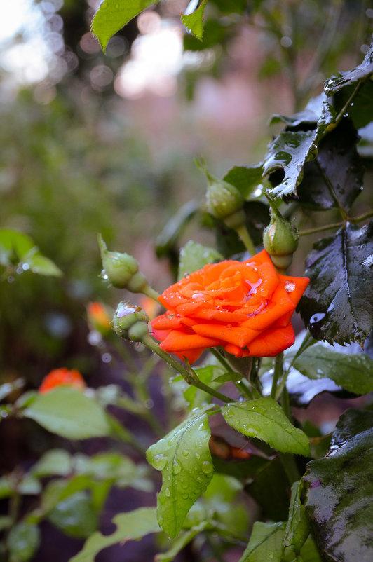 Orange rose - Дмитрий Крыжановский