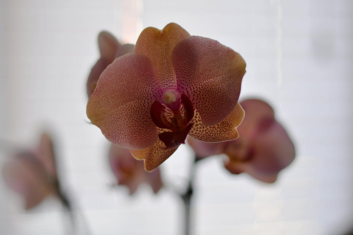 орхидеи - павел бритшев