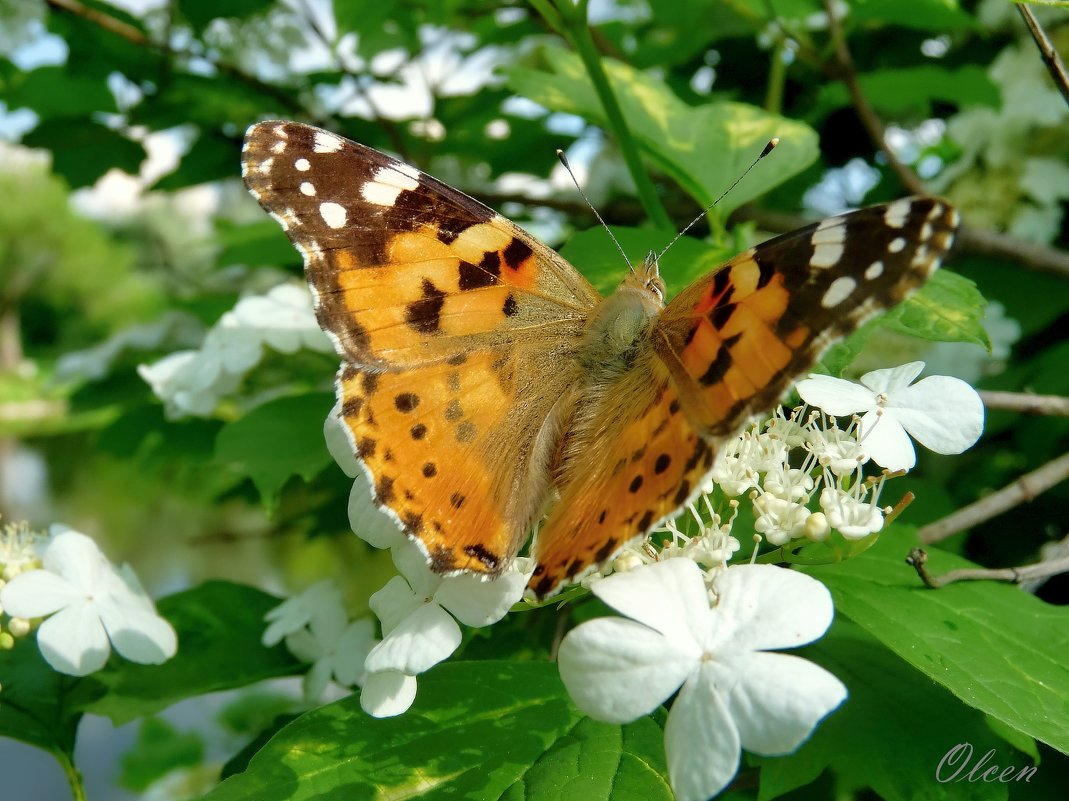 Бабочка на цветках калины. Репейница - Olcen - Ольга Лён