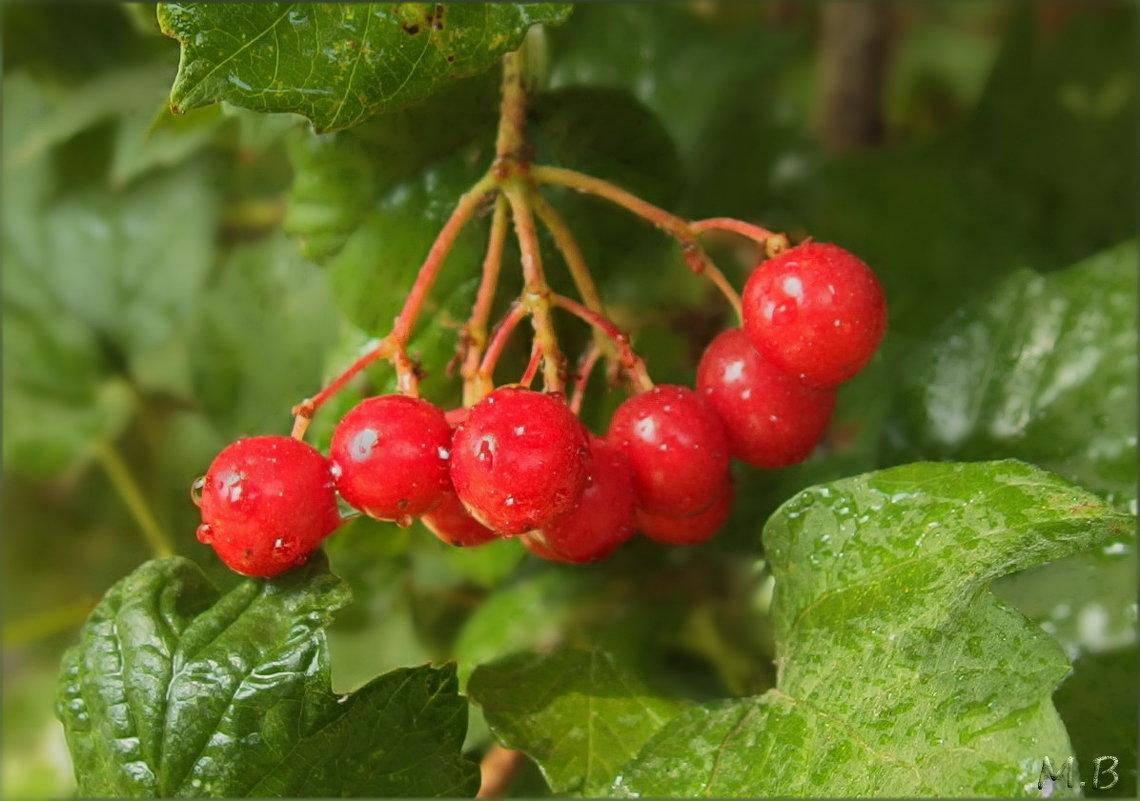 Калина красная, рубином светятся, искрятся грозди твои, в саду. - Людмила Богданова (Скачко)