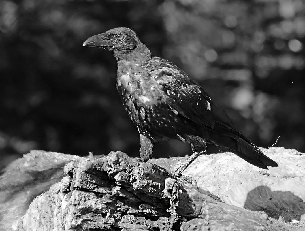 Чёрный ворон - Alexander