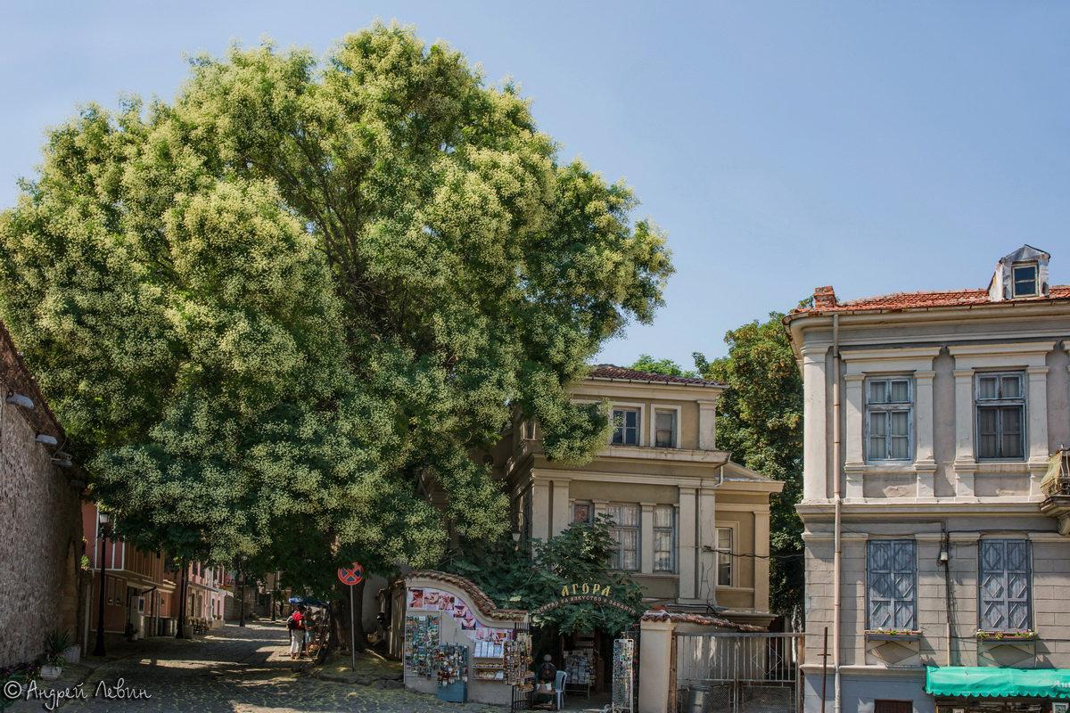Болгария. Пловдив. Цветущая акация на улицах старого города - Андрей Левин