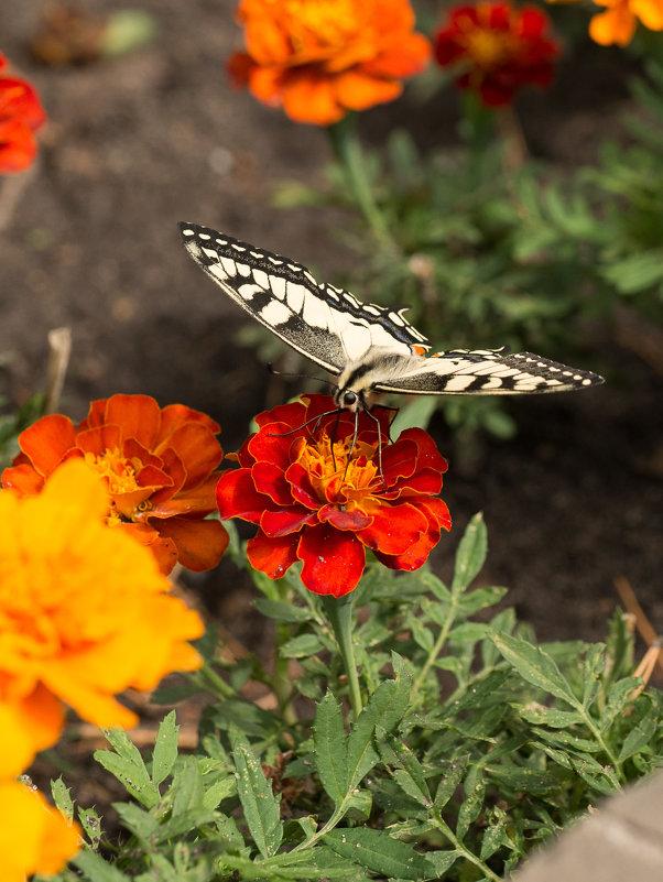 Тренируюсь в макро - бабочка - Ольга Долбилина