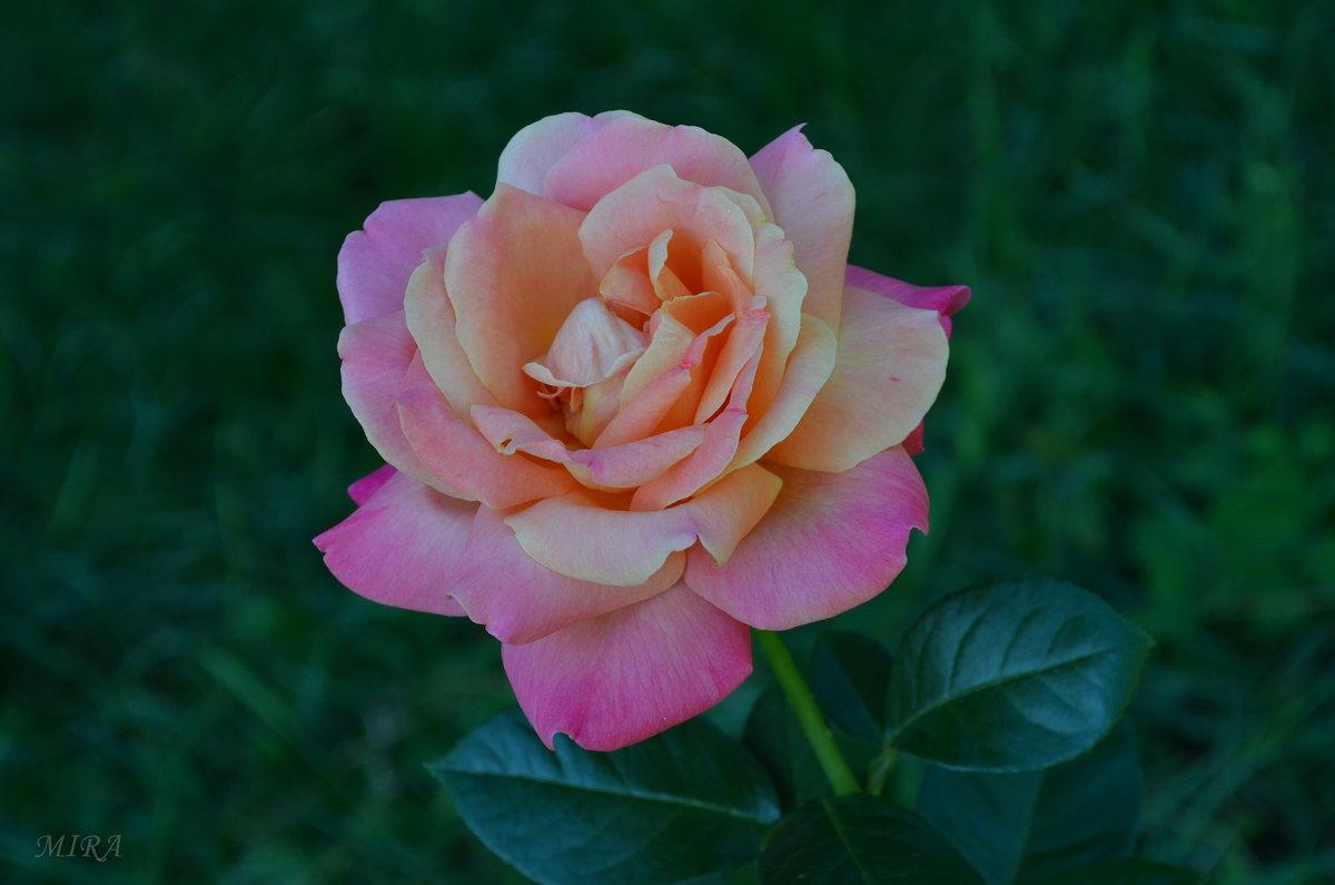 За цветущею розой колючею... - *MIRA* **
