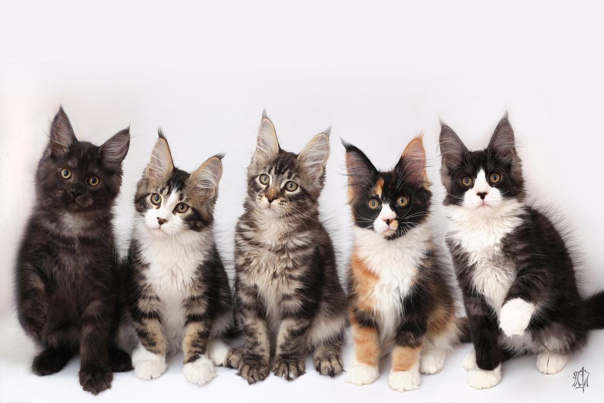 котята мейн-куны - Анастасия Осипова
