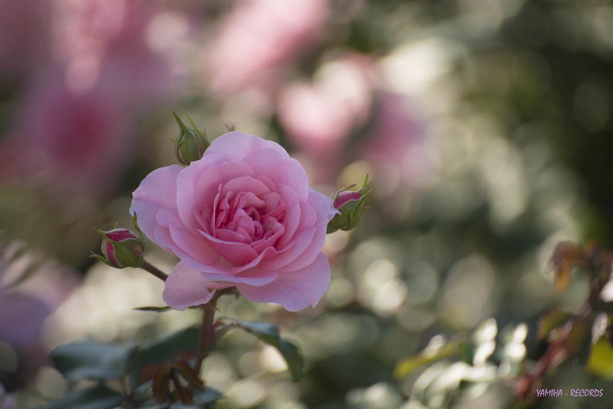 Цветы в парке - Михаил Тищенко