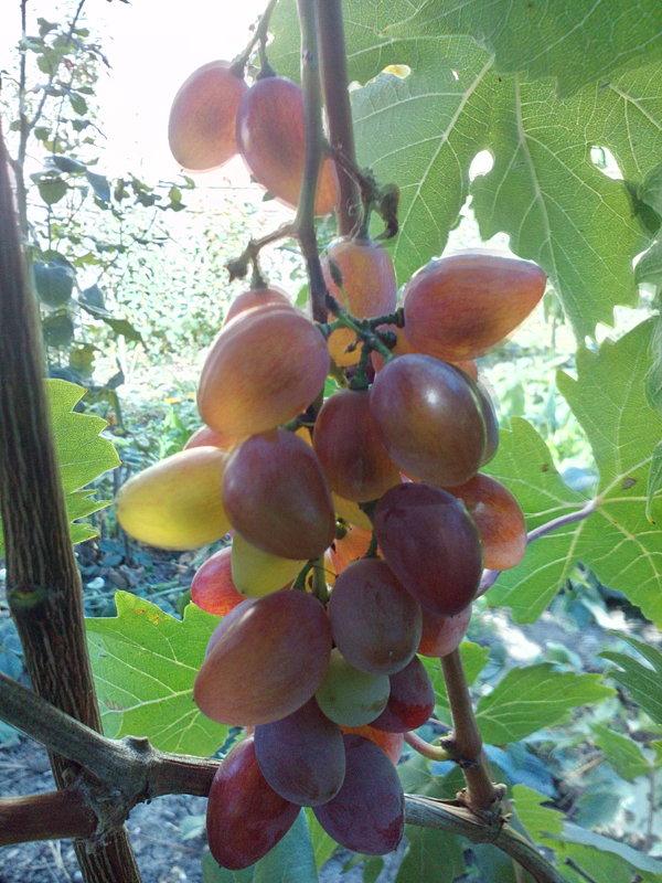 Виноград - Олег