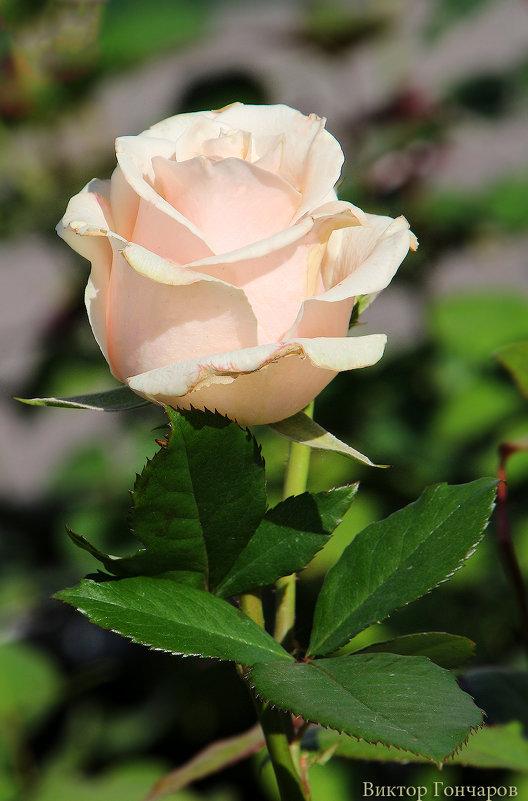 роза - Laryan1
