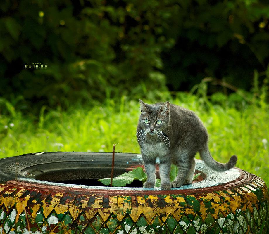 Дворовый кот - D. Matyushin.