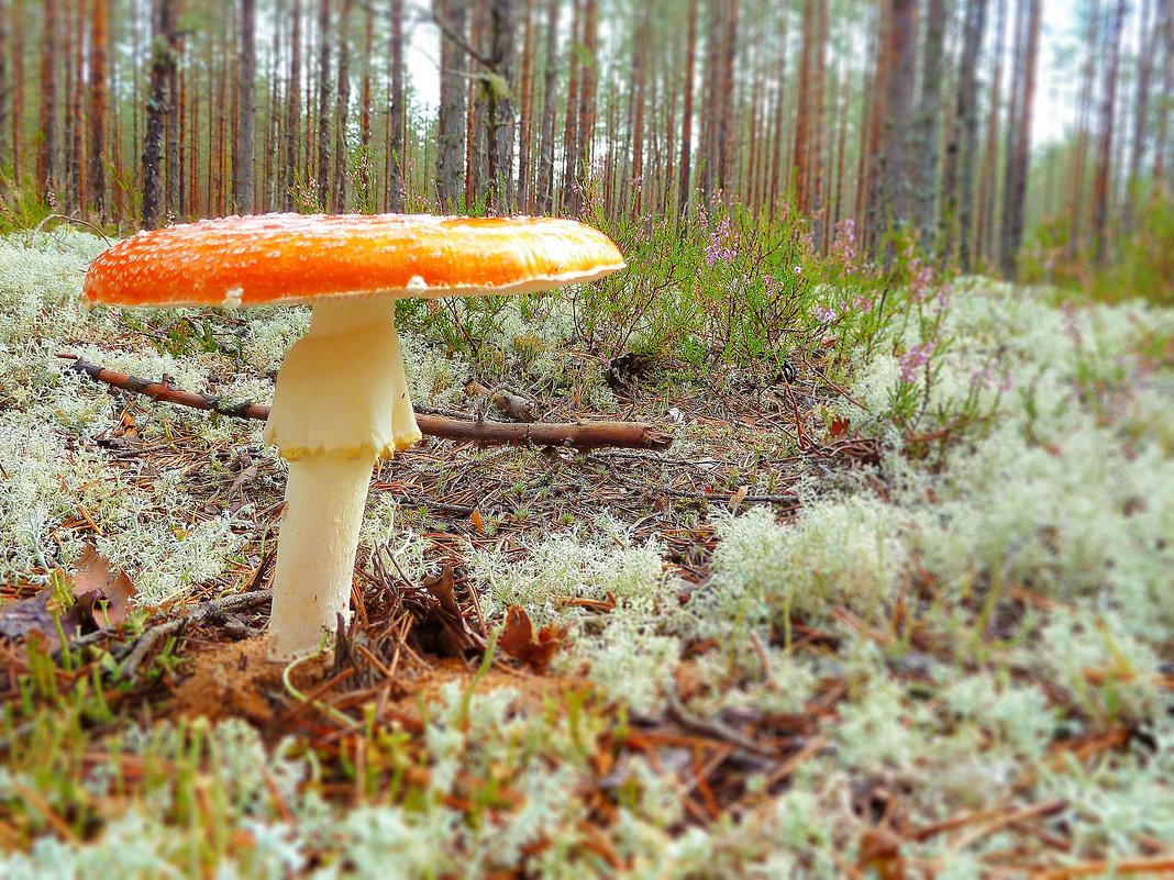 Мухомор в лесу - Анастасия Белякова