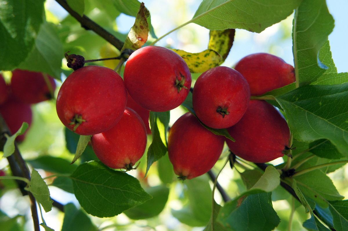 Яблочки в Пюхтицком монастыре - Елена Павлова (Смолова)