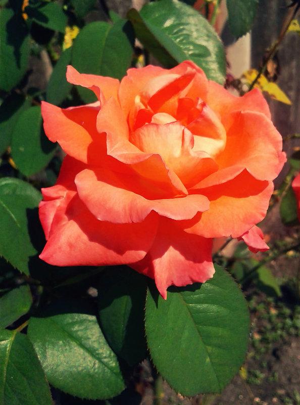 Роза в сентябре - Татьяна