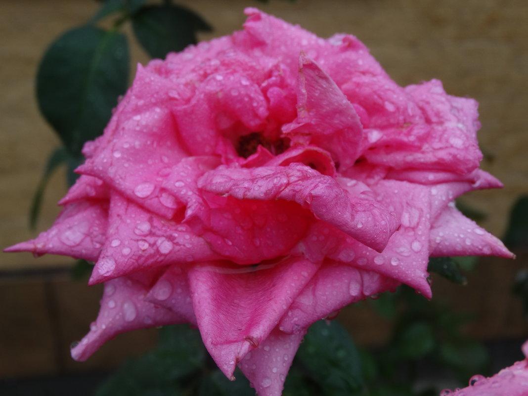 Роза августа под дождём... - Тамара (st.tamara)