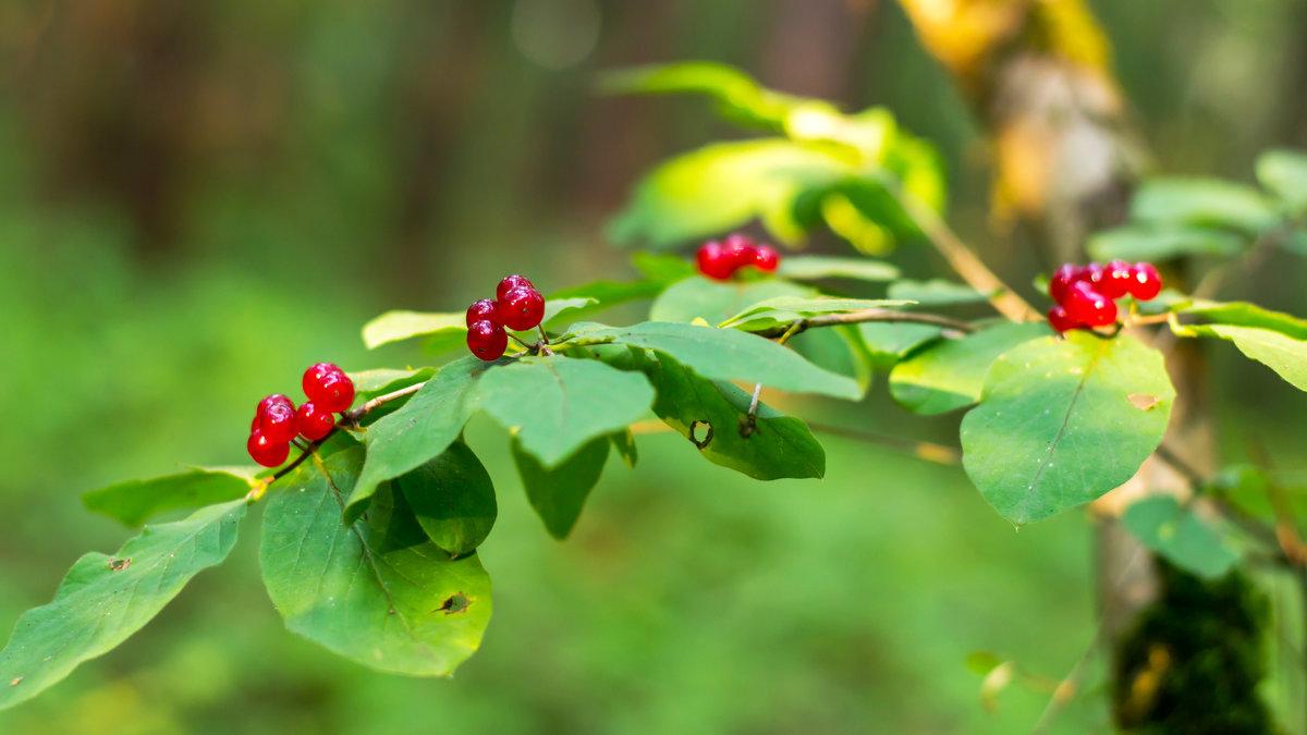 Лесные ягоды - Vladimir Lazarev