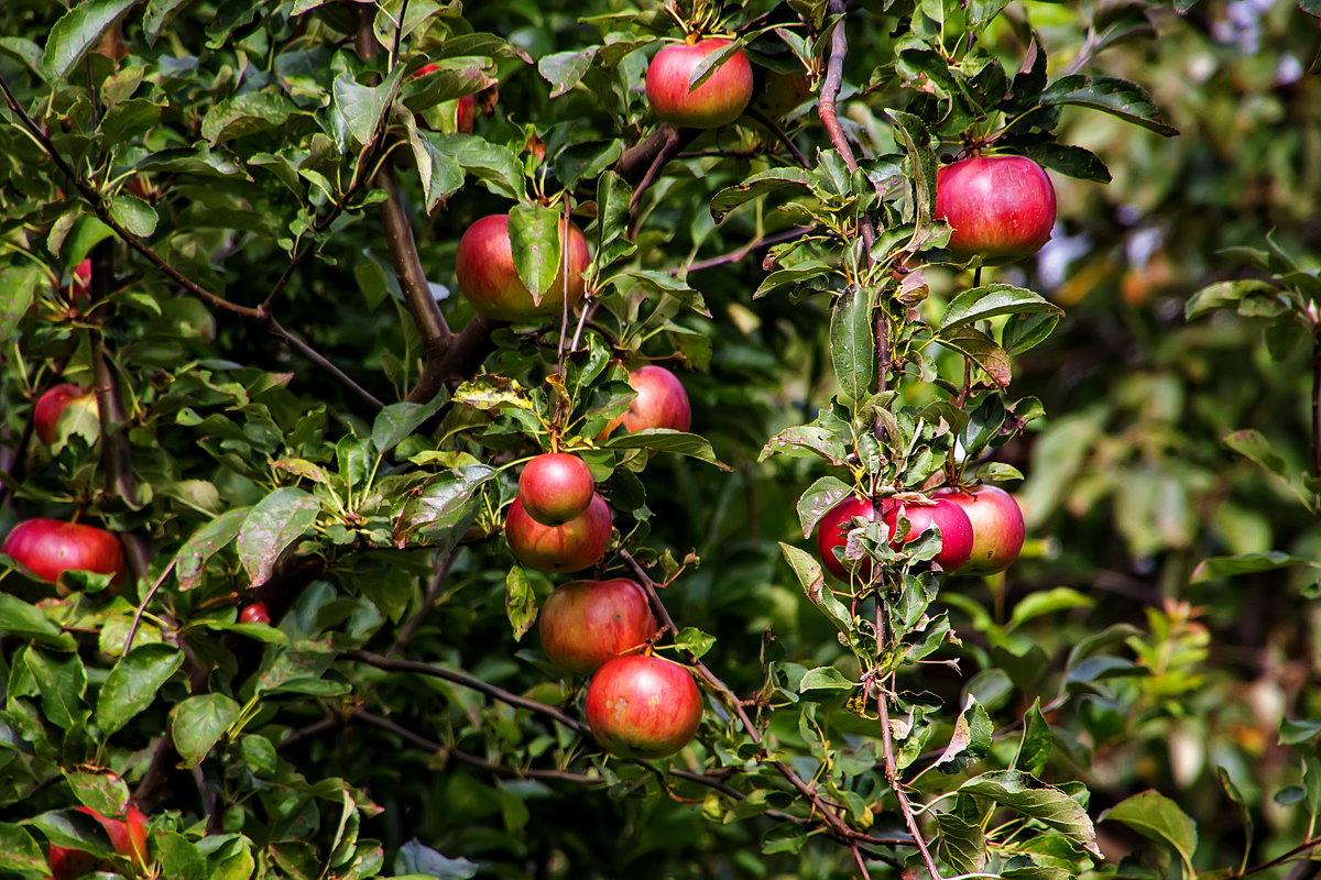 Яблочки в чужом саду. - Анатолий. Chesnavik.