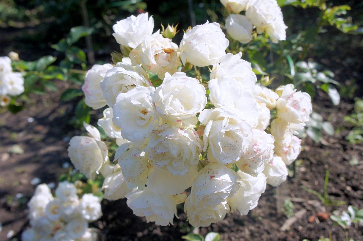 """Роза """"Boule de Neige"""". Год создания 1867. Группа старинные садовые розы, бурбонская - Елена Павлова (Смолова)"""