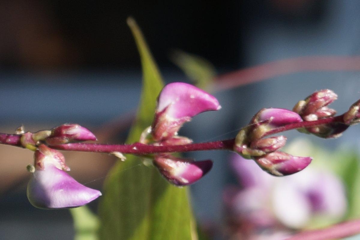 Цветы-бобы - Gal` ka