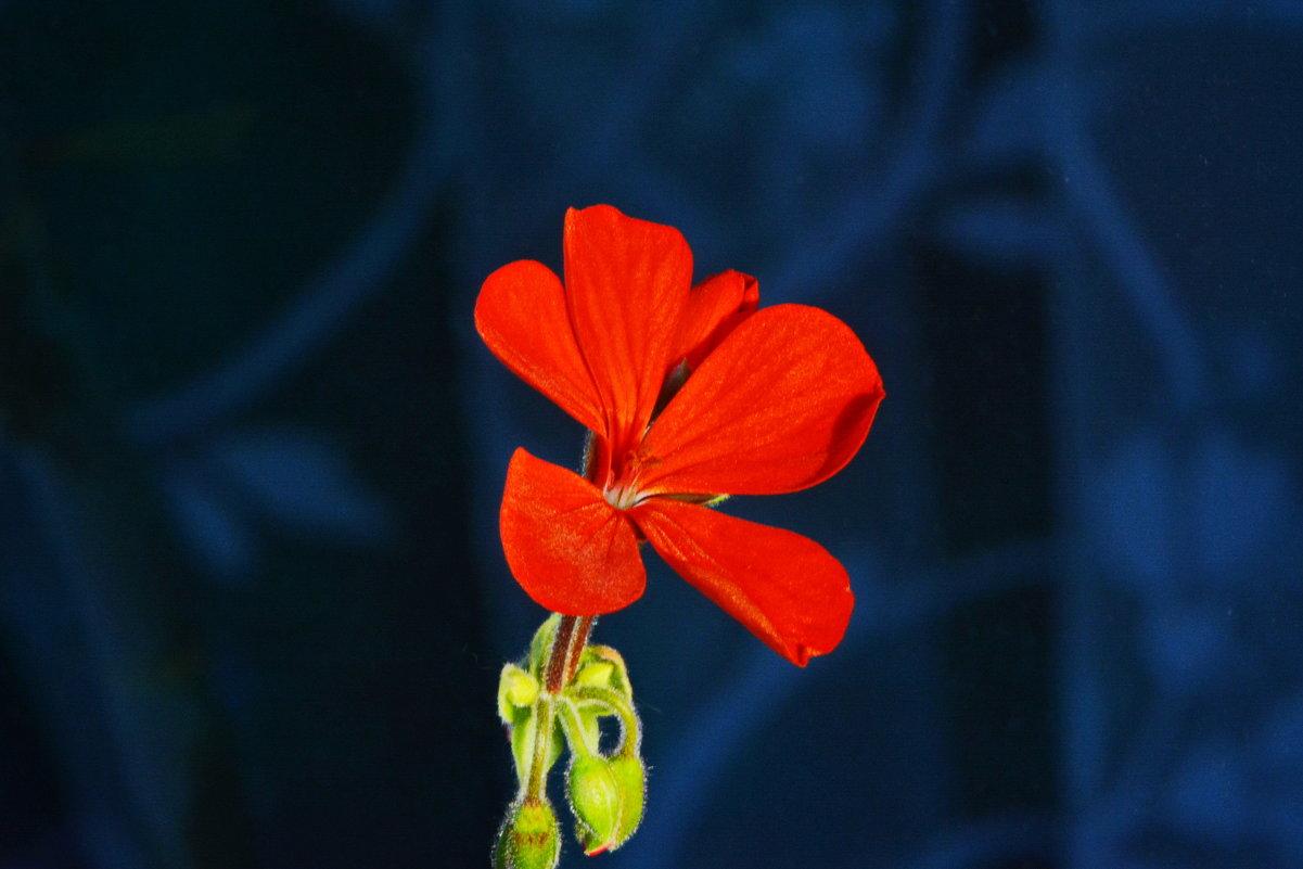 Цветок герани. - Aлександр **