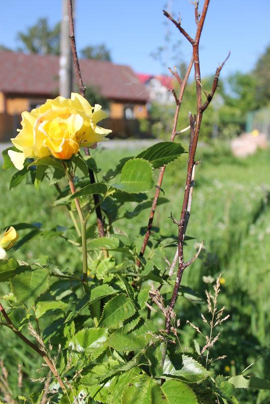 чайная роза - Евгения Коркунова