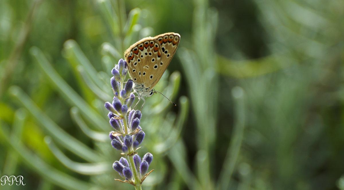 Polyommatus icarus - Голубянка икар. Самка - Павел Руденко