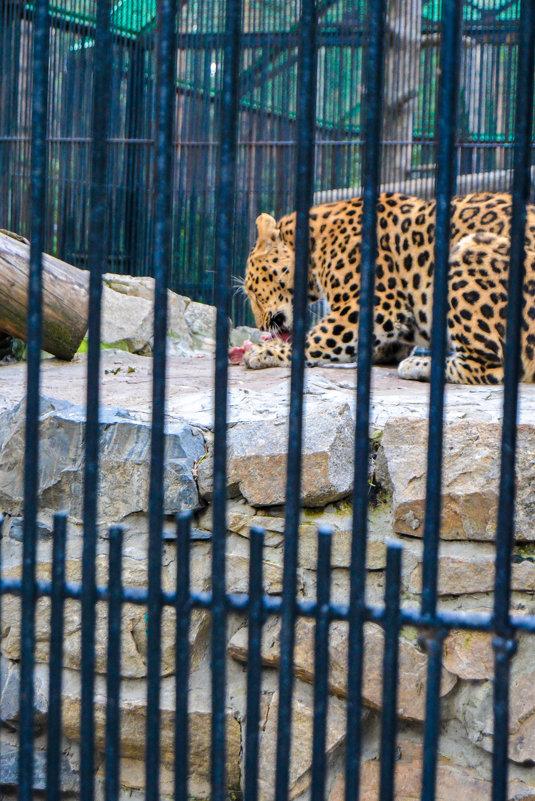 леопард - Света Кондрашова