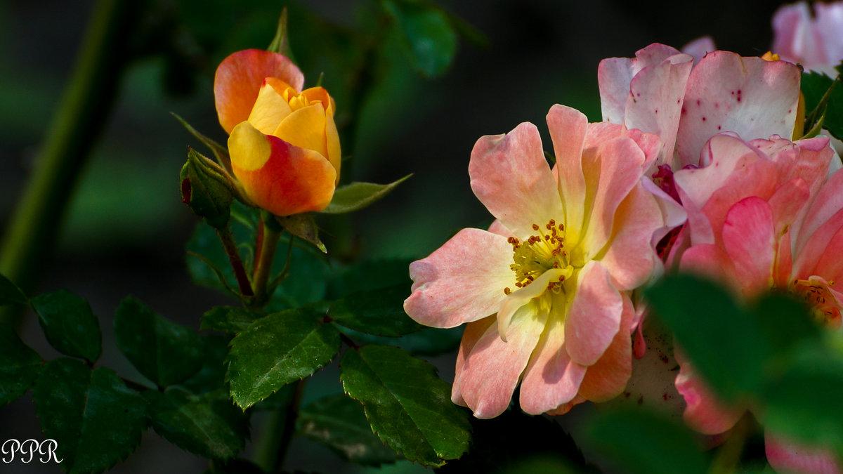 Сентябрьские розы - Павел Руденко