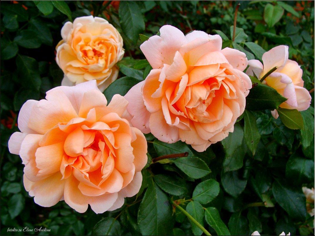 Розы и осенью розы... - °•●Елена●•° Аникина♀