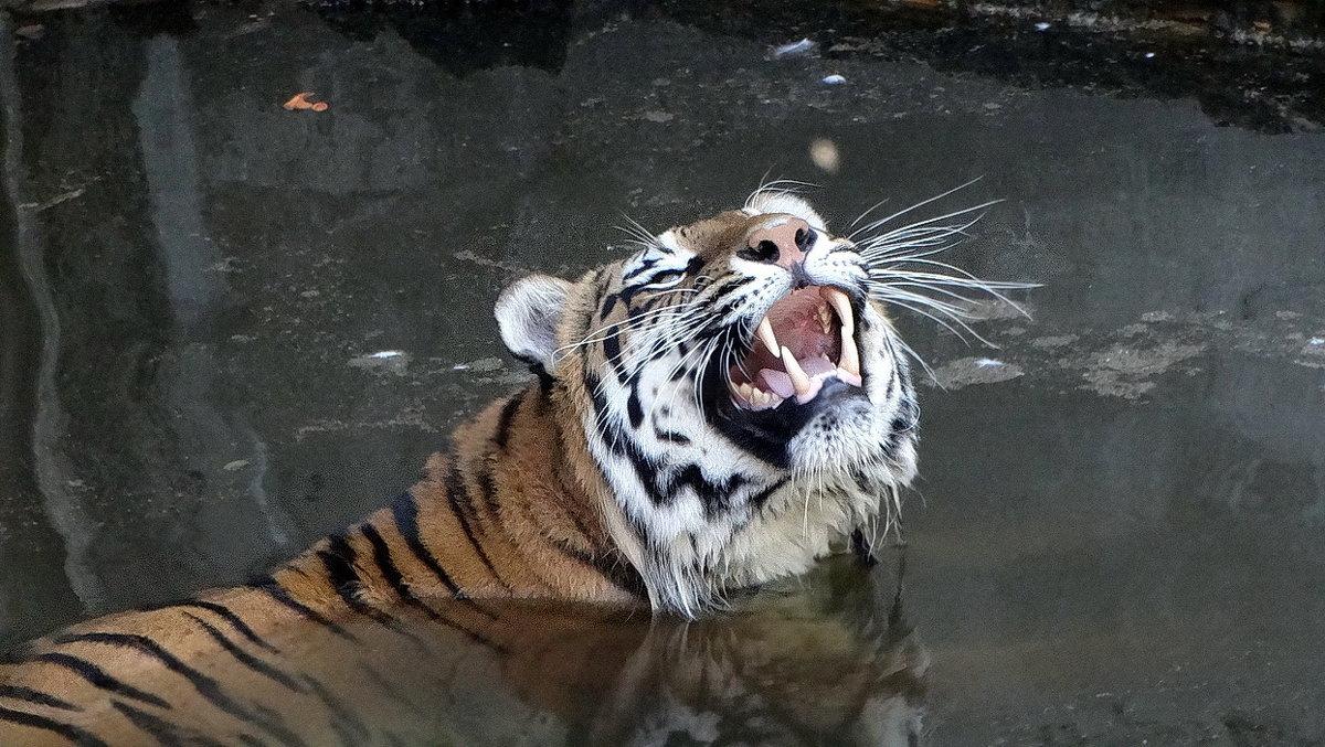 Купающийся тигр Фото №3 - Владимир Бровко