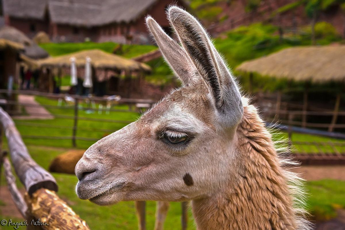 Перу. Портрет грустной ламы - Андрей Левин