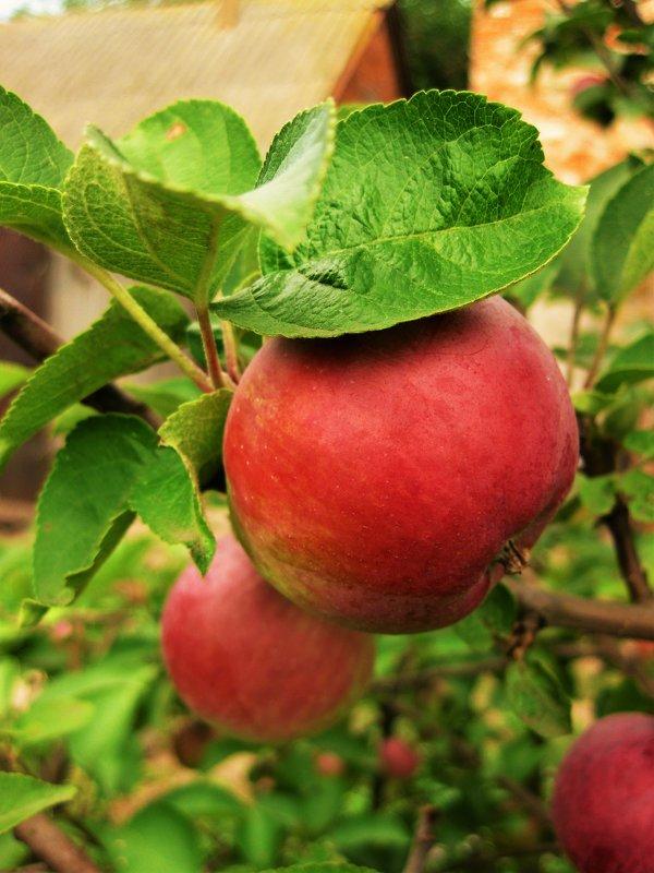 Яблоки - Анна