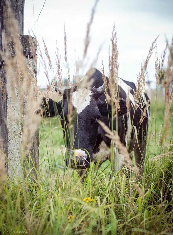 Корова - Астарта Драгнил