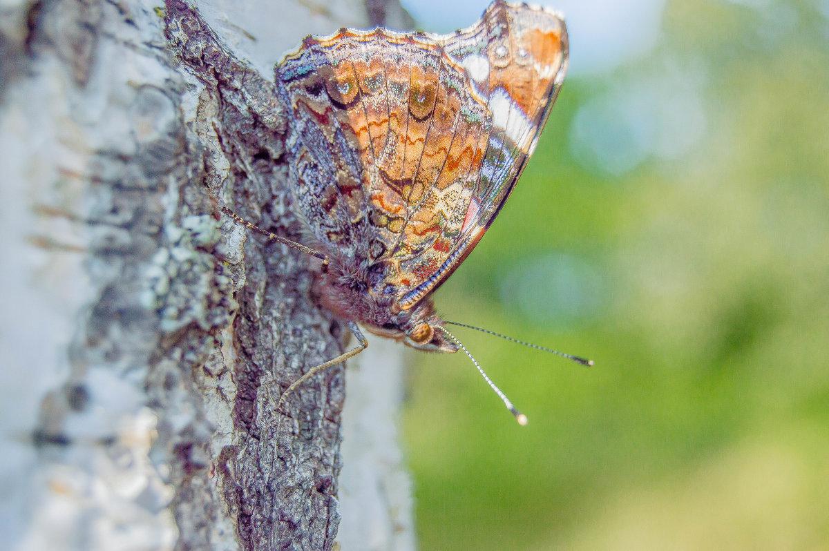 бабочка - олеся тронько