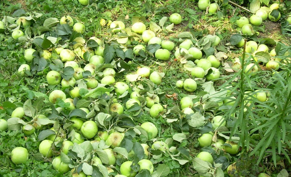 Недозревшие яблоки на земле. Под тяжестью обломилась огромная ветка - татьяна