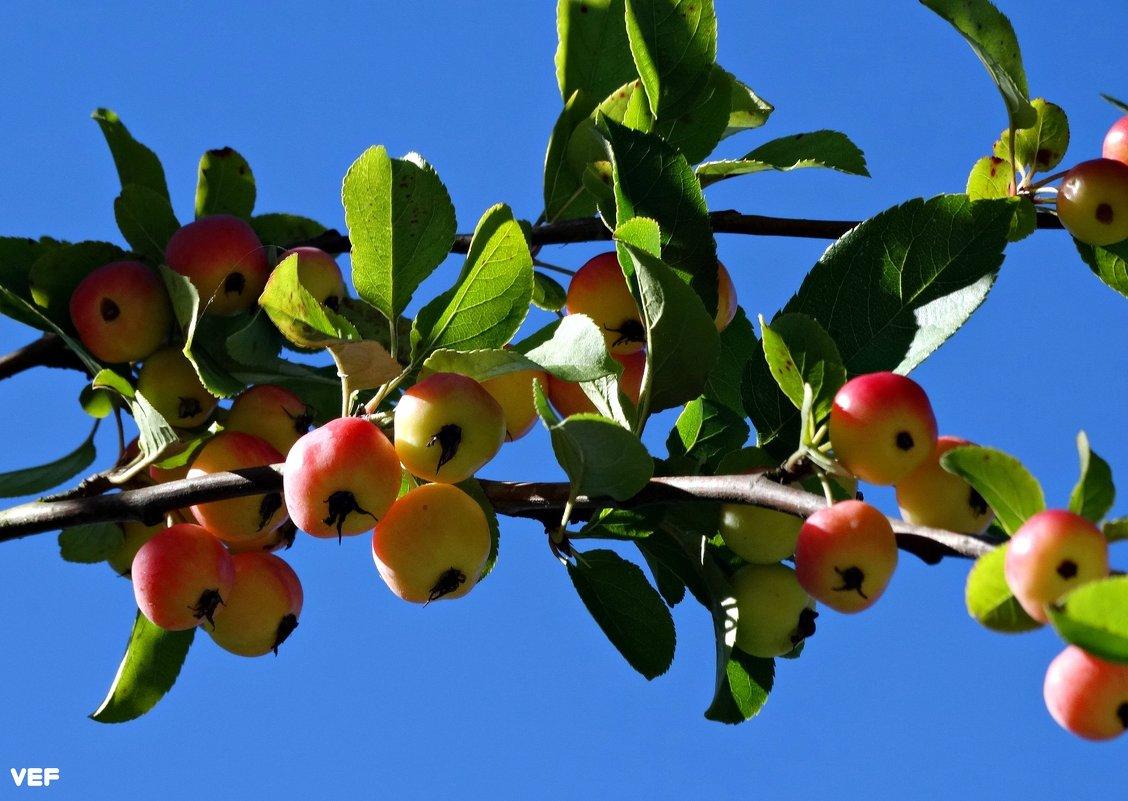 Наливные яблочки - Fededuard Винтанюк