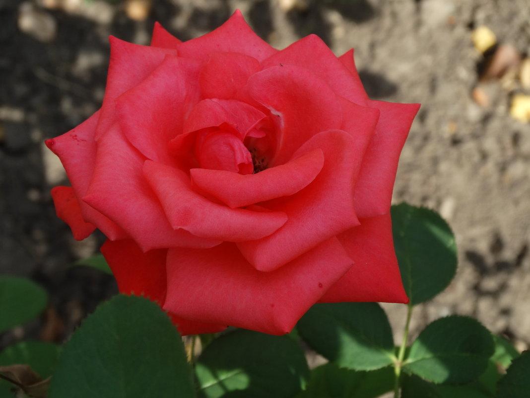 Роза сентября... - Тамара (st.tamara)