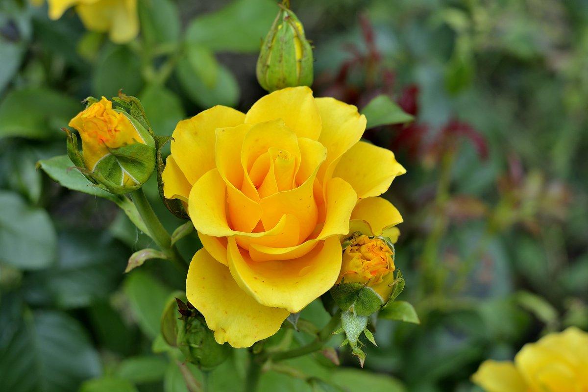 Розы моего сада - Юрий