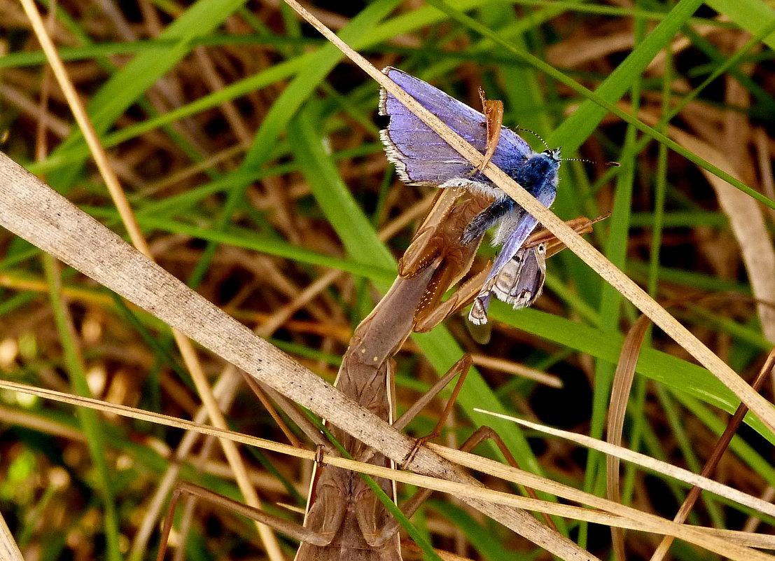 богомол поймал бабочку - Александр Прокудин