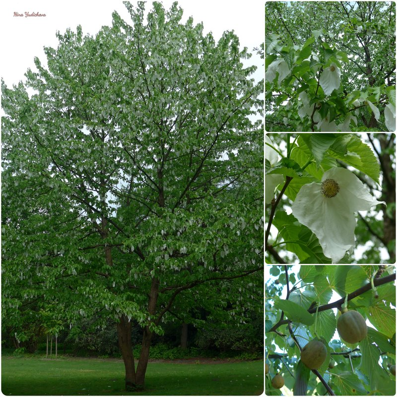 Нежный цвет прелестного дерева Давидии и его плоды - Nina Yudicheva