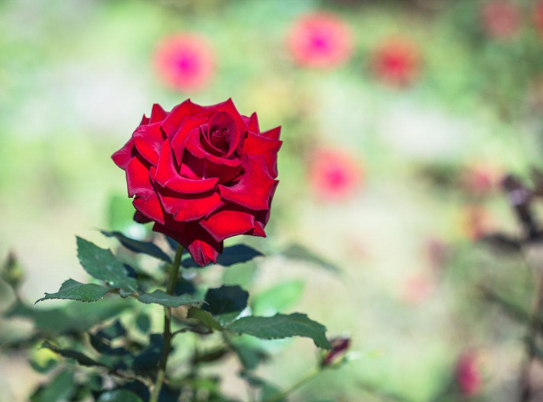роза - Анастасия