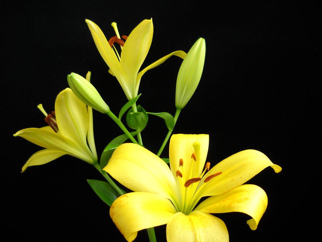 Желтые Лилии - Victoria