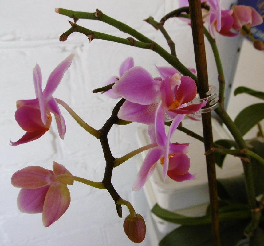 Орхидея - татьяна