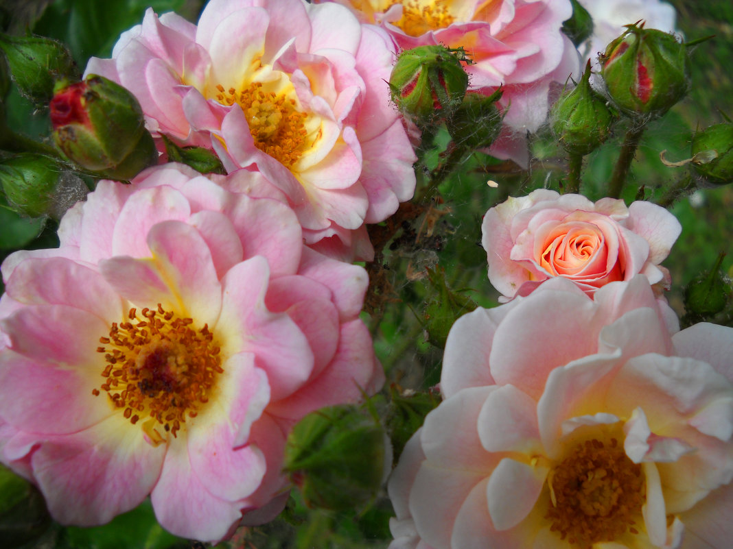 Цветы шиповника - Victoria
