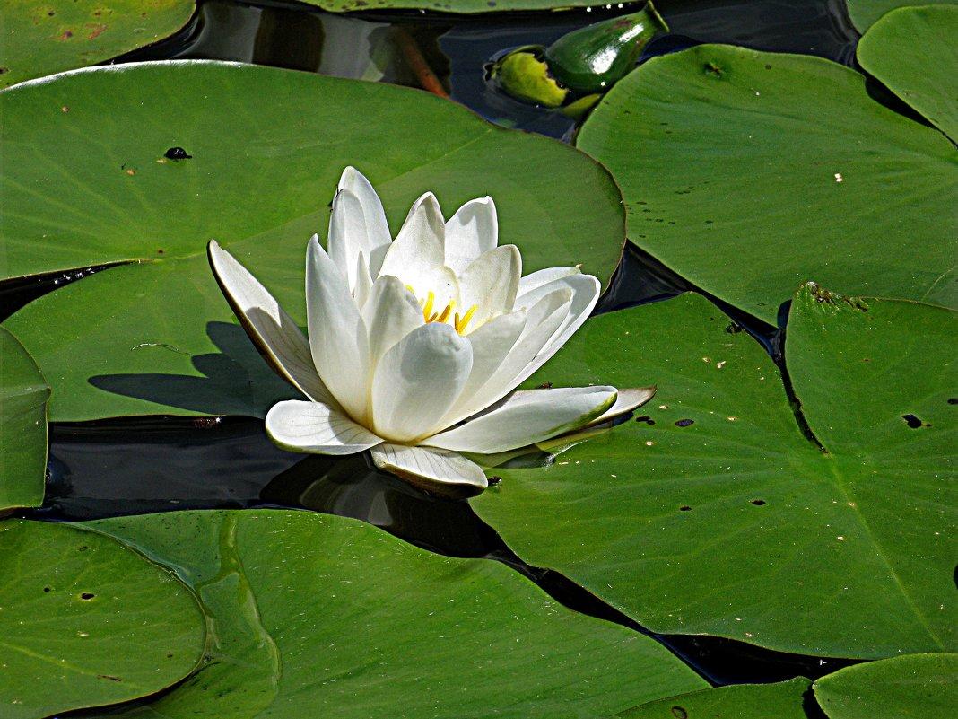 Водяная лилия - Наталья