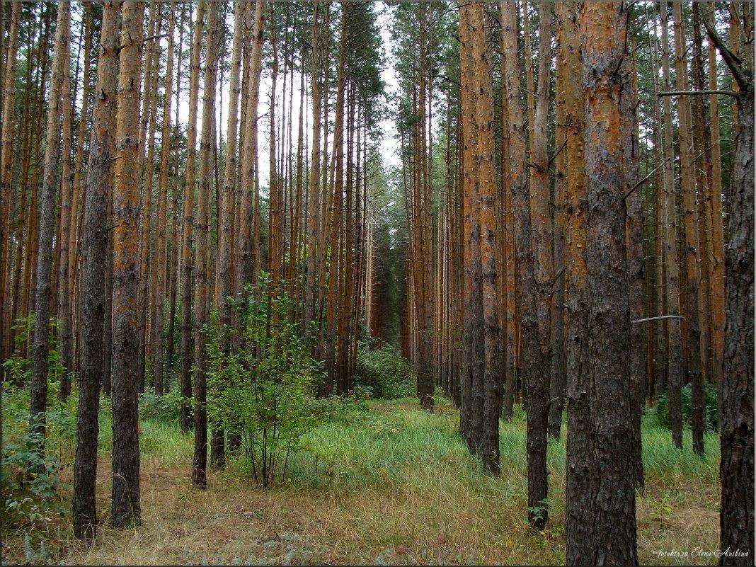 Сосновый лес - °•●Елена●•° Аникина♀