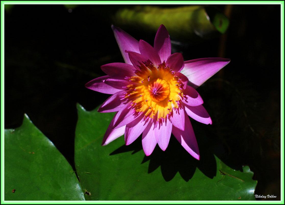 Там лилии цветут - Nikolay Volkov